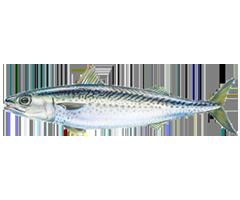 Spanish Mackerel - Scomber Colias