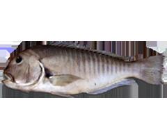 Amadai - Zebra Tilefish