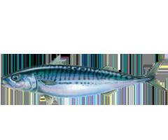 Atlantic Mackerel - Scomber Scombrus