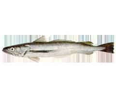 Pescadilla - Benguela Hake