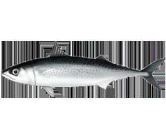Korean Mackerel