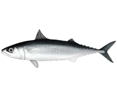 Pacific Chub Mackerel