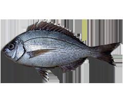 Chopa - Black Seabream