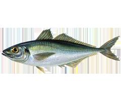 Horse Mackerel - Trachurus Trachurus